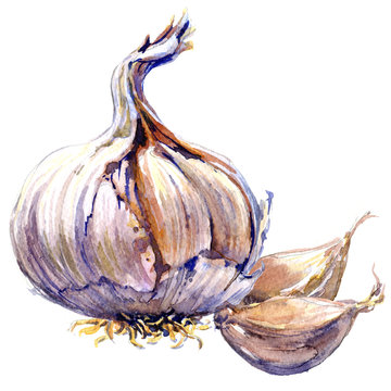 Fresh organic garlic cloves and bulb isolated, watercolor illustration on white