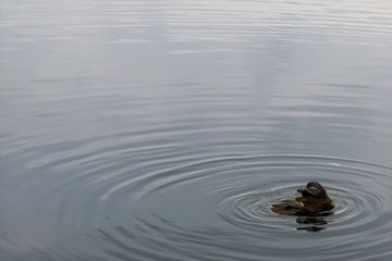 A Duck resting in a vast Lake