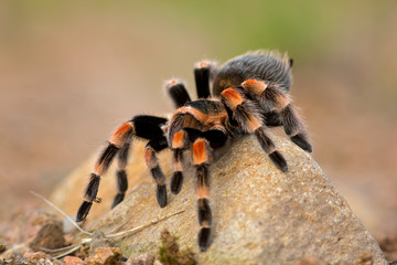 Brachypelma auratum (also called Mexican flame knee) is a tarantula endemic to the regions of Guerrero and Michoacán in Mexico.