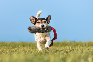 Tricolor Jack Russell Terrier 8 years - hair broken - small cute hunting dog running fast with a toy in his mouth over a meadow and plays - perspective from below on ground level - background blue sky