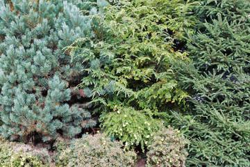 Evergreen tree set growing in the garden