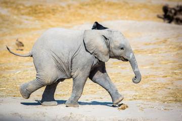 Baby elephant running sideways
