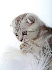 White kitten studio quality