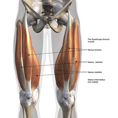 Male Anterior Quadriceps Muscles Labeled