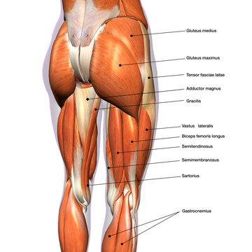 Female Hip and Leg Muscles Labeled