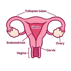 Female reproductory system anatomy chart