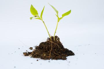 ํYoung plant with soil isolated.