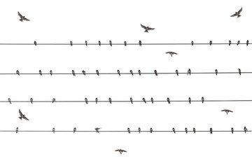 flock martin bird on wire electric isolate white background