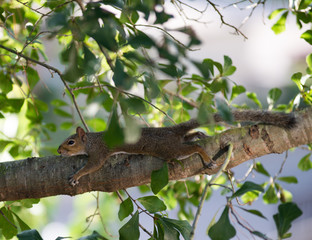 Wild squirrel is resting on the tree