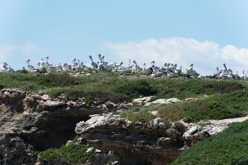 Pelikane versammeln sich auf dem Felsen einer Insel