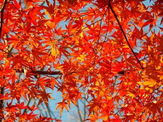 青空と紅葉のモミジ