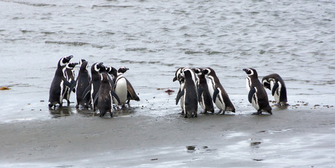 Group of Magellanic penguins on the coast of the ocean in Patagonia,