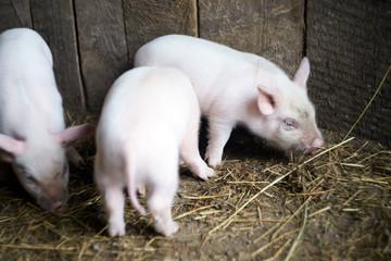 Three little pink pigs. Newborn animals