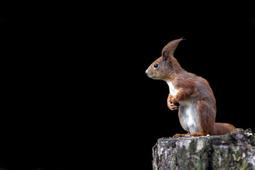 Red squirrel on a black background
