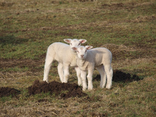 Two cute lambs in a meadow during spring in Moordrecht