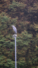 Grey heron taking soms rest on a lamppost