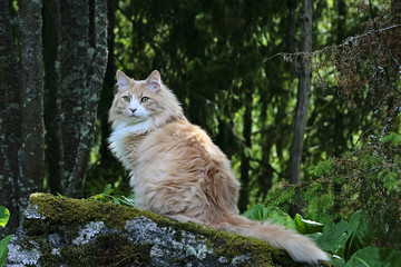 Tuinposter Kat Norwegian forest cat on a stone in the wood