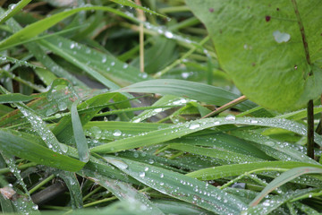 Dew and raindrops on green reed leaves and grass