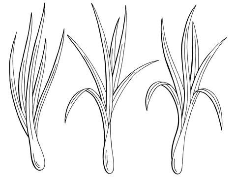Lemongrass plant graphic black white isolated sketch illustration vector
