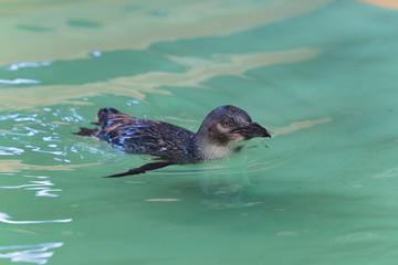 Mini-Pinguin schwimmt nach rechts