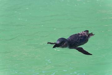 Pingiun lässt sich im Wasser mit Blickrichtung nach 8 Uhr treiben