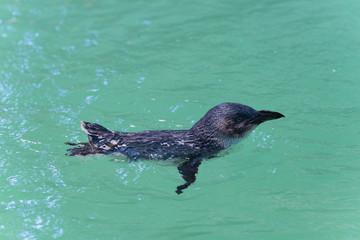 Pinguin im Seitenprofil schwimmt im 90 Grad-Winkel nach rechts