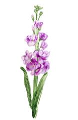 double-flowered hoary stock flower