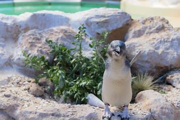 Pinguin auf Felsen mit blick nach vorne ruft nach Partner