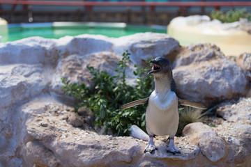 Pinguin auf Felsen mit Blickrichtung nach 7 Uhr ruft nach Partner
