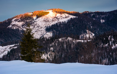 sunrise in forested winter mountains. beautiful scenery with spruce tree on a snowy slope