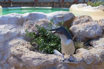 Pinguin auf Felsen mit blick nach links ruft nach Partner