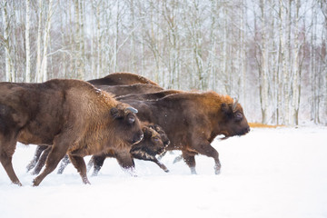 Tuinposter Buffel Large brown bisons Wisent running in winter forest with snow. Herd Of European Aurochs Bison, Bison Bonasus. Nature habitat. Selective focus
