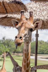African Giraffe closeup of head