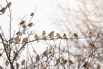 Flock of sparrows perched on branches of a tree; many birds sitting on branches in the winter