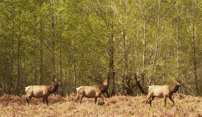 Three Roosevelt Elk