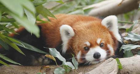 Tuinposter Panda Cute red panda
