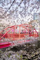 目黒川の桜(中の橋)