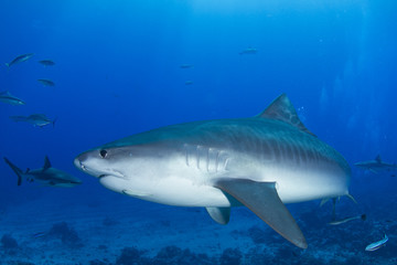 Tiger Shark in Pacific