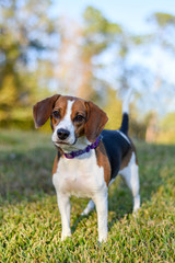 Small young Beagle enjoying the green grass outdoors