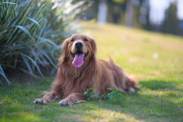 Golden retriever playing on the grass