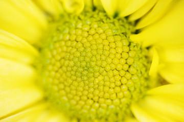 A macro shot of a sunflower bloom