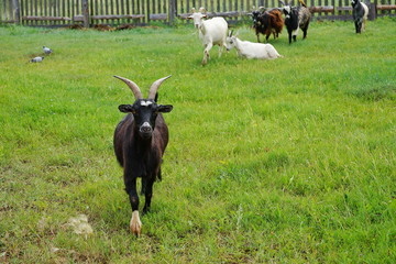The black goat, with large horns, runs along the green meadow.