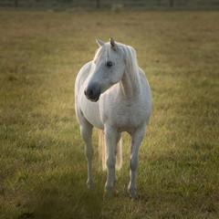 Cheval blanc en fin d'été