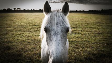 Gros plan d'un cheval blanc