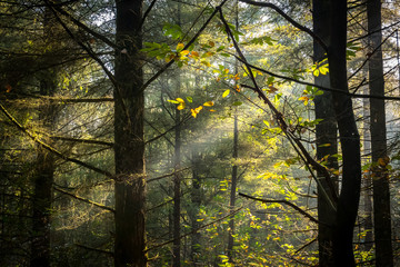 Vue serrée sur une lumière filtrante au travers des arbres d'une fôret