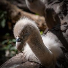 Portrait d'un vautour à tête blanche