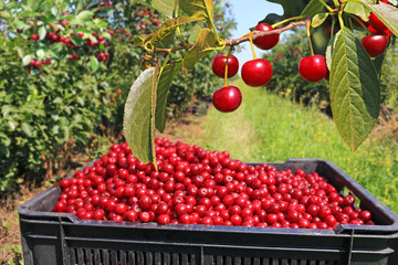 Picking cherries in the orchard