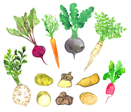 Root vegetables collection, celery, beetroot, carrot, radish, parsnip, potato, Jerusalem artichoke, sweet potato, isolated hand painted watercolor illustration