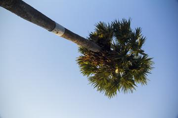 Fan Palm, Palmyra Palm, Sugar palms (borassus flabellifer) with the blue sky