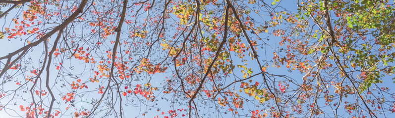 Upward perspective vibrant leaves changing color during fall season in Houston, Texas, US. Tree top converging into the sky. Nature green wood forest,  canopy of tree branches background. Panorama